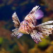 Red lionfish in water — Stock Photo