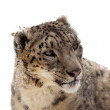 Head of Snow leopard   — Foto de Stock