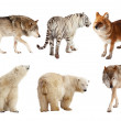 Set of Carnivora mammal over white   — Stock Photo
