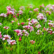Wild plant of pink flower — Stock Photo