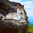 Gray wolf lays on stone in wildness — Stock Photo