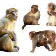 Stock Photo: Set of few macaques over white background