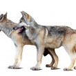 Two wolves white background with shade — Stock Photo