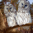 Stock Photo: Two Great Grey Owls in winter