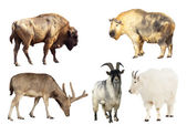 Artiodactyla mammal animals — Stock Photo