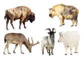Artiodactyla mammal animals — Stock Photo