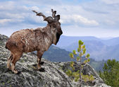 Markhor in wildness area — Stock Photo