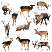 Set of many deer — Stock Photo