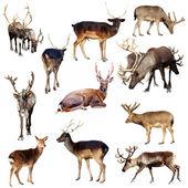 Set of many deer — Stock Photo