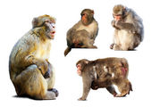 Set of few macaques over white background — ストック写真