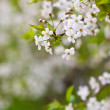 Tree branch in bloom — Stock Photo #38414031