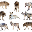 Stock Photo: Set of gray wolves. Isolated over white
