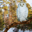 Snowy Owl at pine forest in winter — Stock Photo