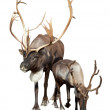 Stock Photo: Two caribou