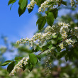 Bird Cherry flowers — Stock Photo #38414835