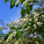 Bird Cherry flowers — Stock Photo