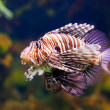 Stock Photo: Red lionfish