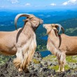 Pair of barbary sheeps in wildness area — Stock Photo #38415161