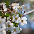 Blooms tree branch — Stock Photo #38415295