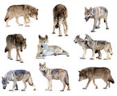 Set of gray wolves. Isolated over white — Stock Photo