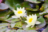 White lily in the quiet waters of the reservoir — Stock Photo