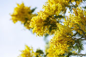 Yellow Acacia branches against sky — Stock Photo
