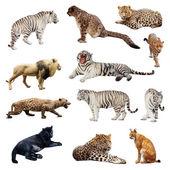 Zestaw wildcats — Zdjęcie stockowe