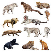 Set of wildcats — Stock Photo