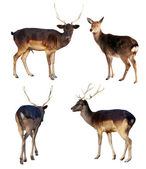 Set of full length of fallow deer — Stock Photo