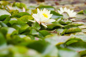 Wite water lilies — Stock Photo