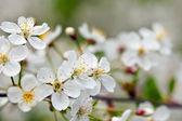 blooms tree branch in blur background — Foto de Stock