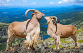 Pair of barbary sheeps in wildness area — Stock Photo