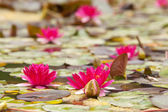 Lilies in quiet waters of pond — Stock Photo