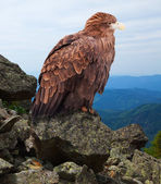 Eagle on rock — Stock Photo