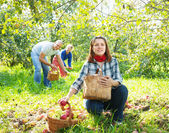 Family with apple harvest in orchard — Stock Photo