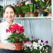 Woman chooses Cyclamen plant at flower shop — Stock Photo