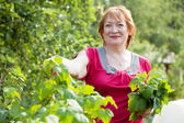 Mature woman gathers currant leaves — Stock Photo