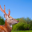 Head of Sikdeer — Stock Photo #40789799