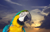 Macaw papagay against dawn — Stock Photo