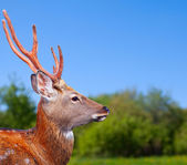 Head of Sika deer — Stock Photo