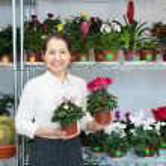 Woman chooses Cyclamen plant — Stock Photo #40792121