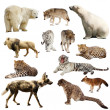Set of predatory mammals over white — Stock Photo