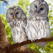 Grey Owls couple on tree — Stock Photo