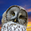 Head of great Gray Owl against sunset — Stock Photo