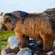 Bear on stone in wildness area — Stock Photo #40795429