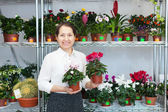 Woman chooses Cyclamen plant — Stock Photo
