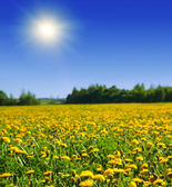Green field with yellow dandelions — Stock Photo