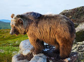 Bear on stone in wildness area — Stock Photo