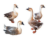 Set of Greylag Gooses over white background — Stock Photo
