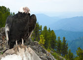 Andean condor  in wildness area — Stock Photo